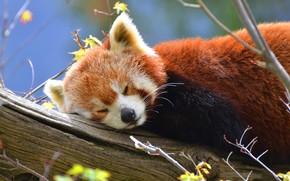 Картинка дерево, сон, панда, красная панда, красная, дикая природа, малая панда, малая