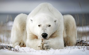 Картинка зима, снег, поза, белый медведь