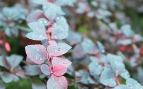 Картинка фиолетовый, листья, вода, капли, пасмурно, ветка, барбарис