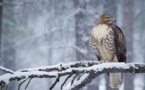 Обои зима, снег, птица, хищник, ветка, ястреб, Краснохвостый сарыч