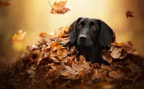 Картинка осень, взгляд, морда, листья, собака, укрытие