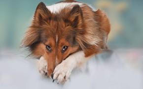 Обои собака, взгляд, Шелти, Шетландская овчарка, фон, морда, лапы