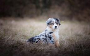 Обои поле, осень, трава, природа, собака, щенок, сидит, пятнистый, австралийская овчарка, аусси