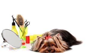 Картинка ситуация, собака, бант, йорк, dog, терьер, расческа