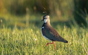 Обои природа, птица, чибис, трава