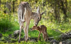 Картинка лес, животные, природа, детёныш, олени, оленёнок