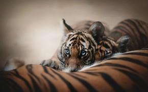 Обои тигрята, фон, мордашка, взгляд, тигры