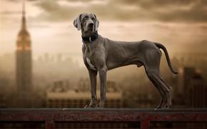 Картинка фон, собака, Веймаранер