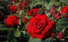 Картинка макро, розы, красная роза, бутоны