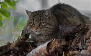 Обои дикая кошка, лесной кот, лесная кошка