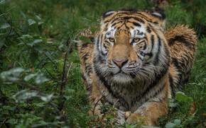 Картинка природа, тигр, животное