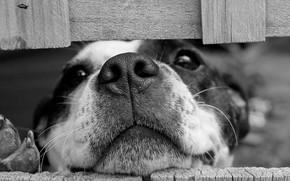 Картинка собака, взгляд, чёрно-белая, нос, морда, монохром