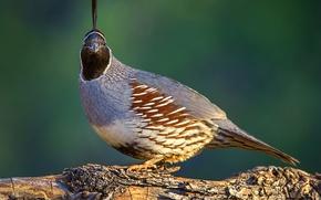 Картинка природа, птица, шлемоносный хохлатый перепел