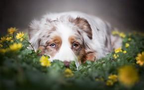 Картинка взгляд, морда, цветы, Австралийская овчарка, Аусси