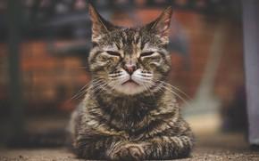 Обои кошка, портрет, боке