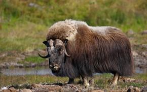 Картинка шерсть, рога, млекопитающее, овцебык