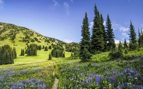 Картинка лето, деревья, цветы, ели, тропинка, штат Вашингтон, Washington State, North Cascades National Park, Национальный парк …