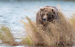 Картинка природа, река, медведь