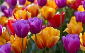 Картинка яркий, тюльпаны, бутоны