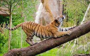 Картинка поза, хищник, дикая кошка, зоопарк, амурский тигр, потягивается, разминка