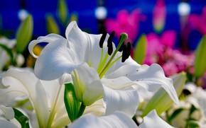 Картинка белый, цветы, лилии, цветение