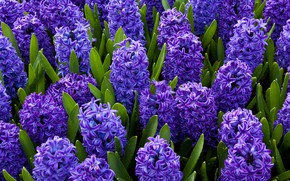Картинка цветы, синий, яркий, весна, гиацинт