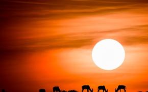 Картинка небо, солнце, закат, силуэты, антилопы, антилопа топи