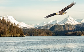 Обои sunlight, bald eagle, mountains, flight, sea, flying, bird, snow
