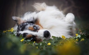 Картинка морда, цветы, Австралийская овчарка, Аусси