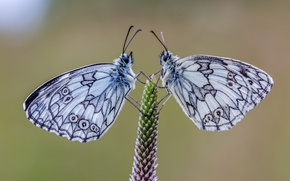 Картинка бабочки, пара, галатея