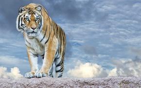 Обои небо, взгляд, морда, облака, тигр, хищник, лапы, полосатый