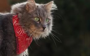 Обои кот, бандана, фон, портрет, взгляд, кошка