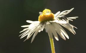 Картинка цветок, капля, лепестки, ромашка, стебель