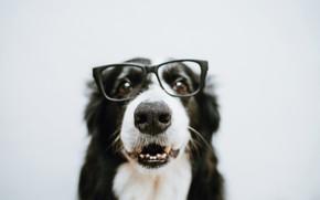 Картинка собака, шерсть, очки