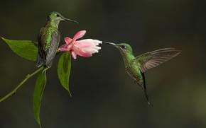 Картинка цветок, Птица, колибри, пара