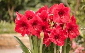 Картинка цветы, красные, боке, Амариллис