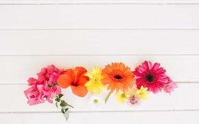 Картинка цветы, герберы, хризантемы, гибискус