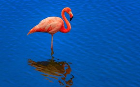 Обои вода, клюв, птица, фламинго, шея
