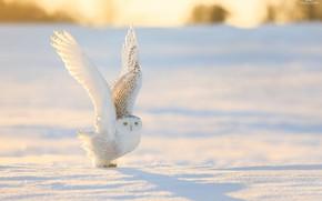 Обои белая, природа, птица, зима, крылья, снег, сова