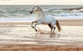 Картинка песок, волны, вода, брызги, серый, конь, ветер, берег, побережье, лошадь, жеребец, прибой, грация