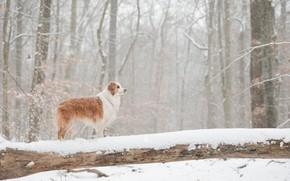 Картинка зима, лес, снег, собака, бревно, Австралийская овчарка, Аусси
