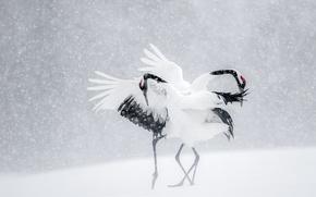 Обои зима, снег, птицы, танец, Япония, журавли
