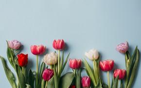 Картинка цветы, colorful, тюльпаны, розовые, white, белые, fresh, pink, flowers, beautiful, tulips, spring, purple, tender
