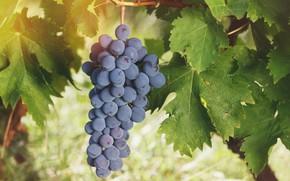 Картинка листья, виноград, гроздь