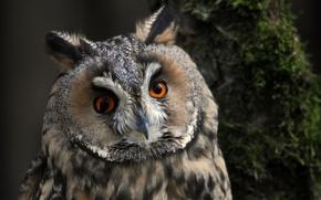 Картинка взгляд, птица, ушастая сова