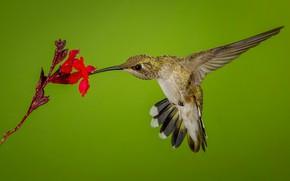 Картинка цветок, птица, крылья, клюв, колибри, черногорлый архилохус