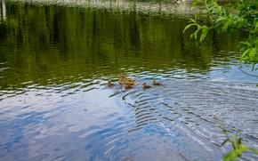 Картинка животные, птицы, природа, озеро, пруд, утята, утка, утенок, маленькие утята, утята в озере, утята в …