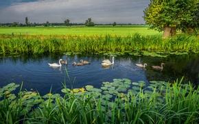 Картинка пейзаж, природа, озеро, лебеди