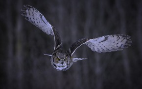 Обои сова, фон, полет, взгляд