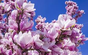 Картинка небо, цветы, ветки, синий, синева, фон, дерево, голубое, куст, красота, весна, лепестки, нежные, бутоны, цветение, …